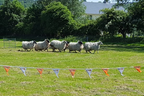 A group of sheep running through the field