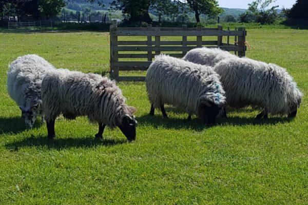 Sheep Herding- Made in Ireland