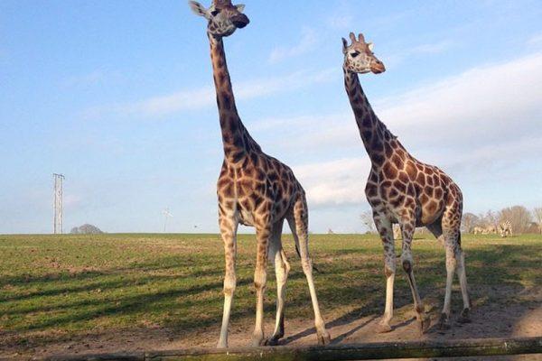 Giraffes at Fota Wildlife Park