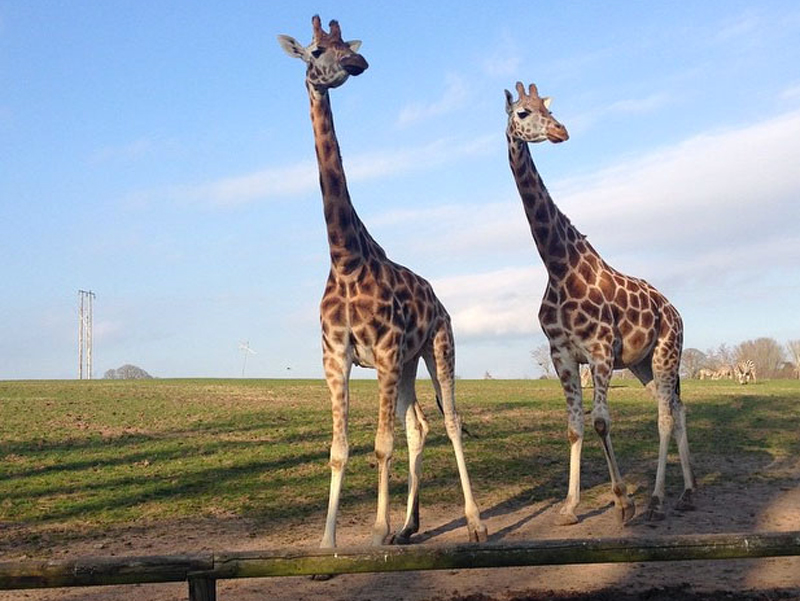 Giraffes at Fota Wildlife Park