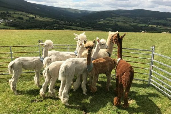 A herd of Alpaca in a fenced area for the Alpaca Herding during Orangeworks Wicklow Discovery Challenge group activity