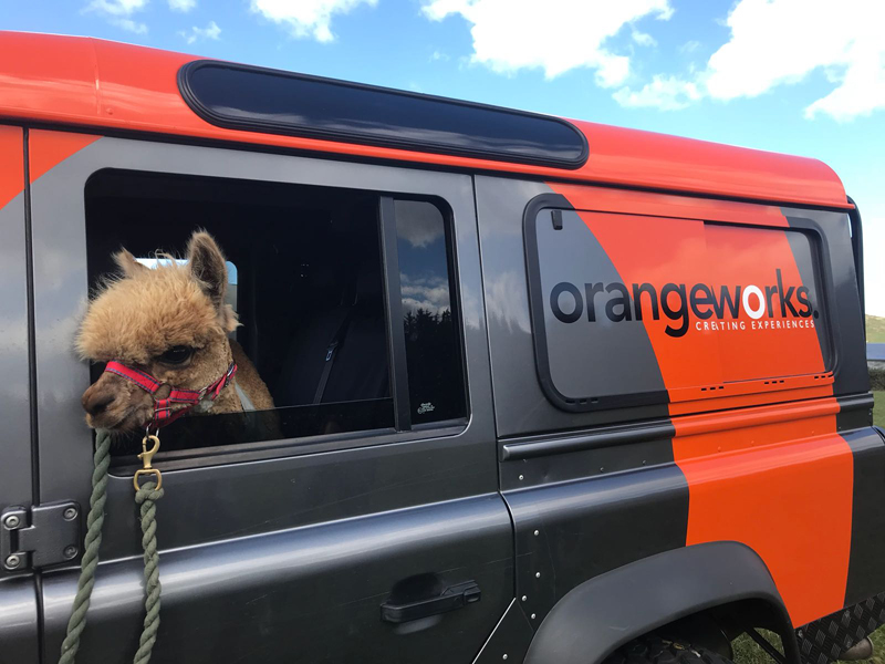 An alpaca sitting in an Orangeworks landrover, ready to enjoy being petted by the delegates of the alpaca herding activity.